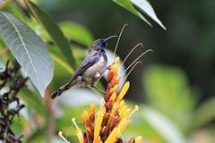 Sibi-bareiro (Michael from Mountains) Tags: sibibareiro sibibocalonga beijaflor principesunbird saotome principe bombomisland endemic anabathmishartlaubii