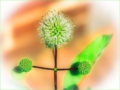 Birthday Hug :) (Silke Klimesch) Tags: happybirthdaydearcami lamulțiani 22032019 camimire floare fericire verde verdeață plantă vignetă românia bucurești blume grün freitagsblümchen flower green fleur vert fiore flor kwiat λουλούδι çiçek цветок 花朵 berlin deutschland germany königlichegartenakademie olympus omd em5markii mzuikodigitaled60mm128macro luminar3 on1photoraw2019 microfourthirds pareidolia analogefex nikcollection u