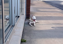 North End Dog (Coastal Elite) Tags: dog bullterrier sidewalk smiling smile halifax novascotia northend englishbullterrier pitbull summer panting mouth happy facial expression chien perro 狗 pet pets trottoir lying waiting reflection window reflected animal gottingen dogs chiens canada
