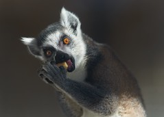 lemur lunch (rondoudou87) Tags: lemur lunch lemurien pentax k1 rondoudou87 parc park parcdureynou zoo reynou nature natur eyes yeux food 300mm close closer portrait light lumière shadow ombre composition cute mignon kawai kawaii
