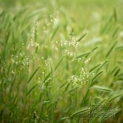 Graminées (Olivier Brosseau) Tags: flickrnature folleavoine graminée graphique plante seigle vert végétal bis