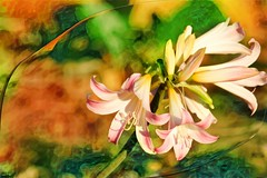 March Lily Revisited (PaulO Classic. ©) Tags: photoshop 3d lily capetown canon eos450d glencairn ddg