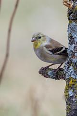 Goldfinch-49934.jpg (Mully410 * Images) Tags: bird birds birding backyard birder goldfinch finch birdwatching