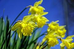 One Sharp Daffodil (Hindrik S) Tags: daffodil narcis narsis titelroas yellow giel geel jaune gelb green groen grien vert grün blau blauw blue flower blom blume bloem plant spring prinsentuin printemps lente foarjier maitiid schepping schöpfung skepping creation nature natuur natuer sonyphotographing sony sonyalpha sony1650mmf28dtssm 2019 α77 slta77ii sonyilca77m2