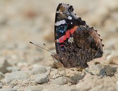 Sipping salts (cotinis) Tags: insect lepidoptera butterfly nymphalidae nymphalinae vanessa vanessaatalanta redadmiral northcarolina piedmont canonef100mmf28macrousm canonef300mmf4lisusm kenkodg25extensiontube inaturalist bmna nc masonfarm june