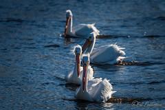 20190408-DSC_7211.jpg (GrandView Virtual, LLC - Bill Pohlmann) Tags: bird americanwhitepelican wisconsin wildlife waterfowl stcroixriver northhudsonwi
