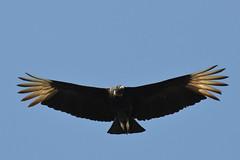 F916 Golden Eagle EF100-400/4.5-5.6 7DMkII @Mexico H89A8115 cr2 (Hiro sensei photos) Tags: birds ef100400mmf4556 7dmkii mexico