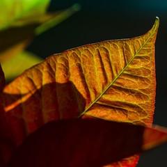 Autumn leaves 🍁🌳☀️🍂 (Martin Bärtges) Tags: makro makrofotografie macrophotography macro autumncolors autumn herbst herbstfarben sonnenschein sonne sun sunshine nikonphotography nikonfotografie d7000 nikon outdoor outside drausen blätter laub leaves