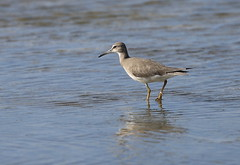 Grey-tailed Tattler, Magnetic Island, NQld (David W Hartney) Tags: greytailed tattler wader magnetic island townsville north queensland