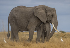 _A130098 (BergsPix) Tags: elephants africa kenya safari amboseli masaai mara samburu tusks mammals