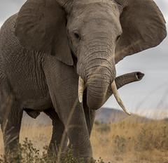 _A130083 (BergsPix) Tags: elephants africa kenya safari amboseli masaai mara samburu tusks mammals