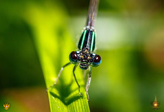 Dragonfly (Orlando Mouchel) Tags: damselfly pond life water bug dragonfly spider insect libellule トンボ 蜻蜓 стрекоза اليعسوب libelle libellula libélula capung macro insecte макрос