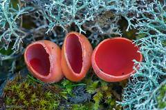 Sarcoscypha coccinea (Peziza-escarlata-) y liquen del género Cladonia (Lucas Gutiérrez) Tags: sarcoscyphacoccineapezizaescarlatayliquen liquen rojo hongo ascomycete parquenaturdealmijara tejeda alhama l fruticoloso alcornocal género cladonia