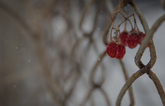 Out in the Cold (vanessa violet) Tags: outinthecold winter snow snowflakes snowfall flurries flakes fence fencefriday friday hff happyfencefriday wirefence chainlinkfence rust berry berries red bokeh tree bush