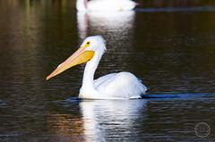 IMG23651 (bshinkara) Tags: balboawildlifereserve wildlife wildlifephotography animals bird birds pelican americanwhitepelican americanwhite pelecantuserythrorhynchos
