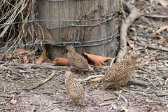 Quail Trail 1 (petefeats) Tags: australia birds brisbane brownquail coturnixypsilophora galliformes nature oxleycommon phasianidae queensland juvenile
