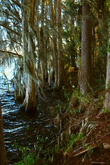 Windy Shoreline (surfcaster9) Tags: water cypress trees florida lumixg7 windy outside nature