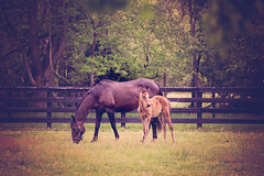 Day Trading and her Filly (Funtasian) Tags: horses equestrian equine snow cold field paddock barn filly foal babyanimals colt sky grass