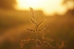 *** (pszcz9) Tags: przyroda nature natura naturaleza zbliżenie closeup zachódsłońca sunset beautifulearth sony a77