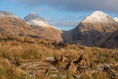 The snow capped peaks of Stob Dubh on Buachaille Etive Beag and Stob na Broige on Buachaille Etive Mor with some of the locals in the foreground. (hotspurjohn) Tags: glenetive stobdubh stobnabroige scotland scottishlandscape munro landscape deer buachailleetivemor buachailleetivebeag hind