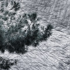 Ikeru (axiom.atic) Tags: ngc mono cyan tree branches composition angle corner 45 degrees ilce7rm3 sel50f14z zeiss 50mm 14 f11 pine pinecone a7r3 sony landscape outdoor zen