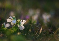 White violet (annazelei) Tags: flower flora viola macro spring leaves leaf white green natura natural naturephotography life couple blooming alba naturaleza plant light beautiful flickr bokeh lights colour sun flowers violet botanical outside paysage colours