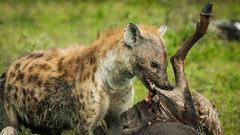 Bite! (Ruedi Staehli) Tags: africa afrika animalshunting animalsinthewild carnivore danger eastafrica hyena hyäne kenia kenya large nationalpark outdoors safari safarianimals savannah tansania tanzania wildlife animal grass mammal nature travel travelphotography