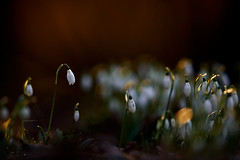 Schneeglöckchen (generalstussner) Tags: schneeglöckchen snowdrops pflanzen blumen frühblüher makro macro sunrise sonnenaufgang beautifullight natur nature canom