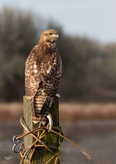 Study in Steel and Feathers I (dennis_plank_nature_photography) Tags: avianphotography redtailedhawk ridgefieldnwr birdphotography naturephotography ridgefield wa avian birds naure