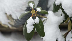 A hardy rhododendron enduring another winter storm. (kuntheaprum) Tags: stormpetra snow backyard sony a7riii tamron 70300mm sledding