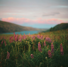 the allure of lupine (manyfires) Tags: hasselblad hasselblad500cm mediumformat square analog film lupine wildflowers spring blossom bloom golden magichour sunset gorge columbiarivergorge landscape flowers oregon pna pacificnorthwest columbiariver bokeh