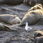 Amongst elephant seals at San Simeon thumbnail