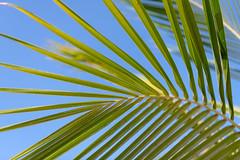 Macro palm (JarkkoS) Tags: 2470mmf28eedafsvr d850 dubai grandhyattdubaihotel leaves macro tree uae unitedarabemirates ae