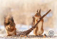 Red squirrels standing with a broom (Geert Weggen) Tags: squirrel red animal backgrounds bright cheerful close color concepts conservation culinary cute damage day earth environment environmental equipment love winter snow photo acorn nut food tree homeless roofless houseless garbagecan garbage broom dance openmouth bispgården jämtland sweden geert weggen hardeko ragunda