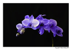 Purple Flower Power (wesjr50) Tags: canonef24105mmf4 photoshop nik topaz orchids flowers floralphotography naturallightphotography staugustineflorida commodores club canon eos 5d mark ii