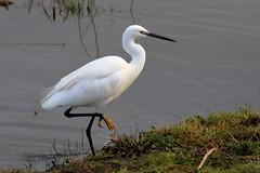 Little Egret (robin denton) Tags: bird tophilllow tophill waterbird naturereserve nature wildlife ywa yorkshirewaterauthority yorkshire littleegret egret egrettagarzetta