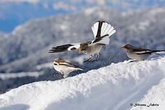 Fringuelli alpini (silvano fabris) Tags: faunaalpina neve snow mountain montagna canon wildlife photonature nature animals animali uccelli birds fringuellialpini