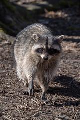 Raccoon (_K1_6012) (Ross G. Strachan Photography) Tags: britishcolumbia canada lostlagoon stanleypark vancouver animals heron raccoon wildlife ca