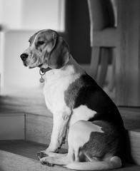 Spike (LuckyMeyer) Tags: jagdhund bw white brown black hund haustier dog beagle pet