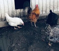 #chicken #pet #love #eggs #farming #chickenjoy #chickenlove #chickensofinstagram #chickenlover #petlovernation #family #likemypet #showcasingpets #fresh #crazychickenlady #chickenlife (okieapache70) Tags: chicken pet love eggs farming chickenjoy chickenlove chickensofinstagram chickenlover petlovernation family likemypet showcasingpets fresh crazychickenlady chickenlife