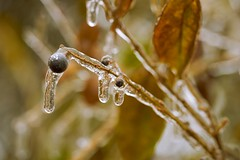 022749 A Day Of Fleeting Beauty (David G. Hoffman) Tags: macro ice freezingrain bokeh berries drops