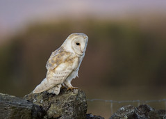 barn owl (alderson.yvonne) Tags: barn owl barnowl wild evening winter hunting yvonne yvonnealderson