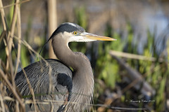 Blue Heron (Canon Queen Rocks (2,800,000 + views)) Tags: wildlife eyes wings wild nature heron blueheron feathers naturephotography reeds birds