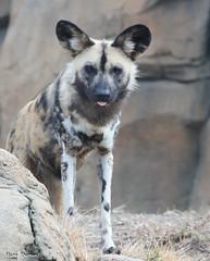 G08A1234.jpg (Mark Dumont) Tags: african dog painted zoo mark dumont mammal cincinnati