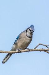 _DSC0171 (johnjmurphyiii) Tags: 06416 birds connecticut cromwell originalnef shelly tamron18400 usa wildlife winter yard johnjmurphyiii
