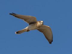 Nankeen Kestrel (The Gullet) Tags: nikon d500 southaustralia wildlife australianwildlife nankeenkestrel hallettcove raptor hunt bird prey