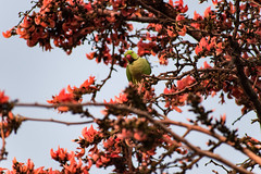 (rohitchaoji) Tags: bird birds birdphotography birdlovers birdshots avian ornithology wildlife nature naturephotography parrot parakeet colourful colours
