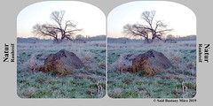0_stereokarte_P1340368 (said.bustany) Tags: stereo stereokarte 2019 märz frost sonnenaufgang baum