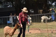 DSC_5103 (VAYG) Tags: vay vytec paraders aaa victorian alpaca association youth australian australia iar 2019 alpacas alpacalypse crystal cove profarma jay hall athena melbourne show redhill red hill