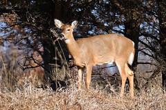 Whitetail Deer (randall321321) Tags: deer d7500 nature